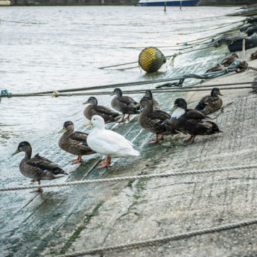 ducks-1web